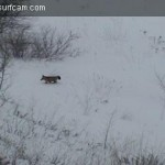 January 18th, Watched this fox wander from the icy Lake Michigan shoreline up the hill bank and disappear.